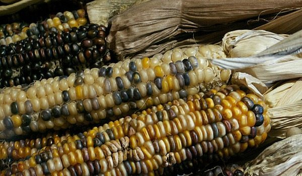 How to Grow Indian Corn