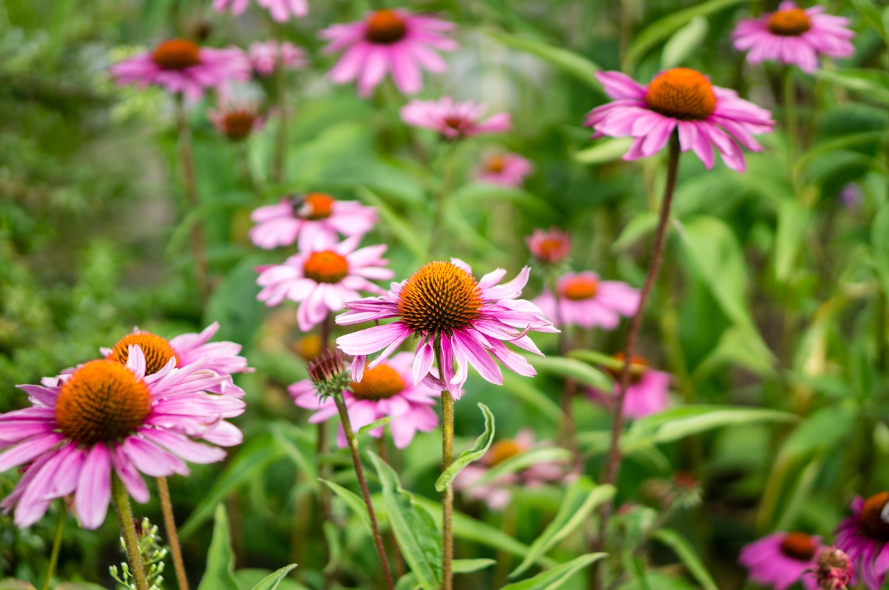 planting and dividing perennials