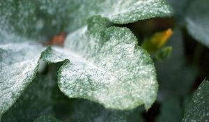 how to thin plants with powdery mildew