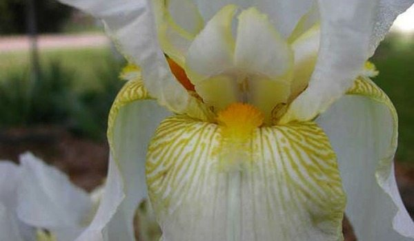 Bearded Iris Time Divide Up Your Rhizomes