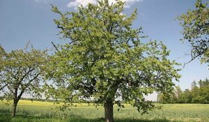 Prepping Fruit Trees in Late Summer and Early Fall