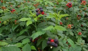 Pruning Raspberries for Early Fall