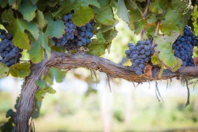 How to grow your own grapes