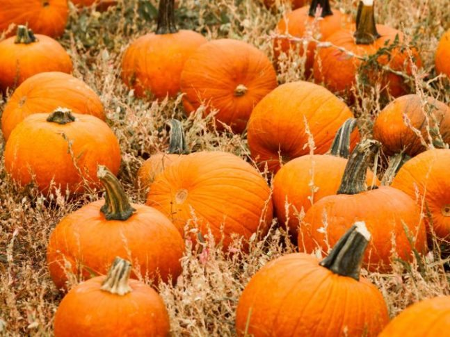 Pumpkin Harvesting Safety Tips