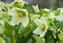 hellebores - good flowers for winter beds