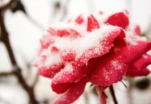 how to prepare rose gardens in winter