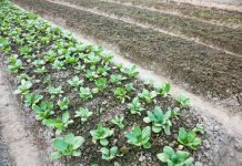 vegetable patch - cover soil with winter ground cover