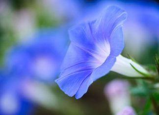 blue-enchantment-convolvulus