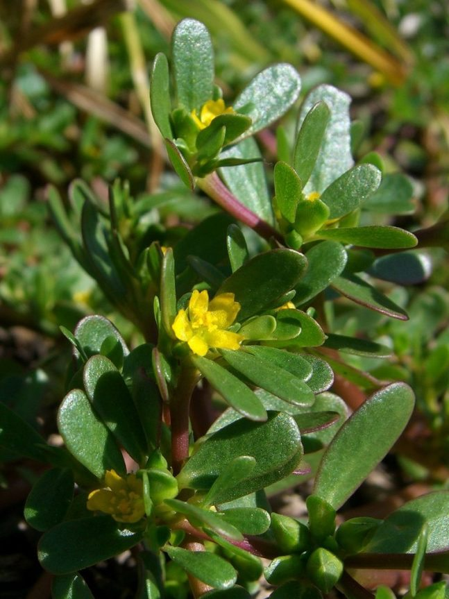 Purslane edible weeds