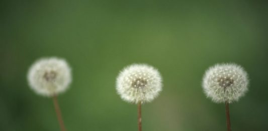 dandelions edible weeds