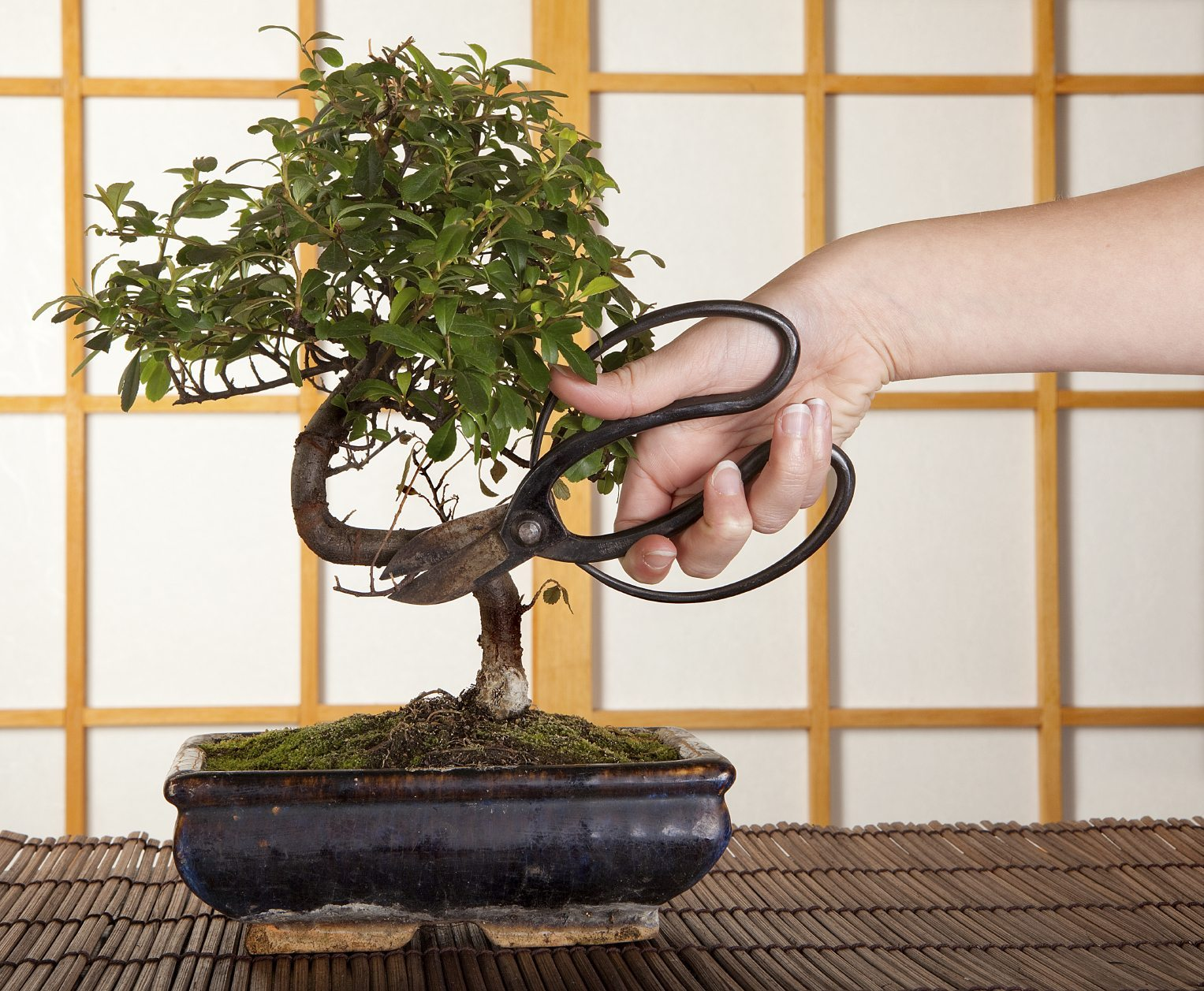 trim Bonsai tree