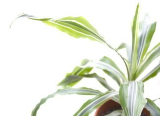 Best and Easiest Houseplants Dracaena