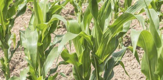 growing beans corn