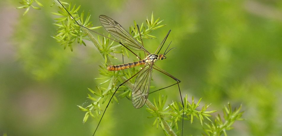 Top 10 Plants That Repel Mosquitoes Gracious Gardening