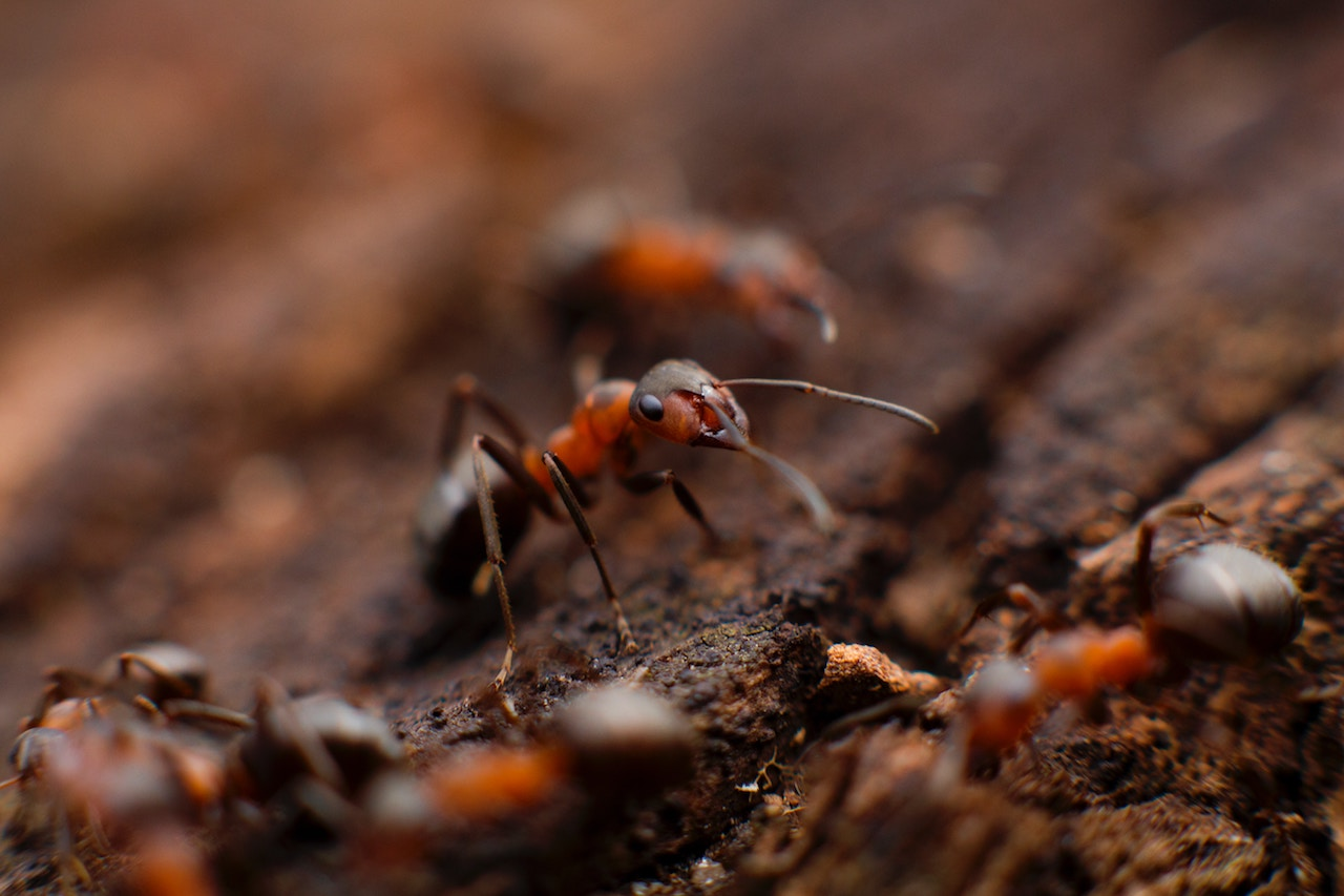 3 Common Items For Getting Rid Of Ants   Gracious Gardening