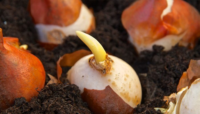 fall planting bulbs