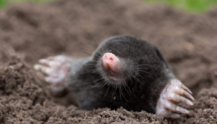 get rid of moles naturally
