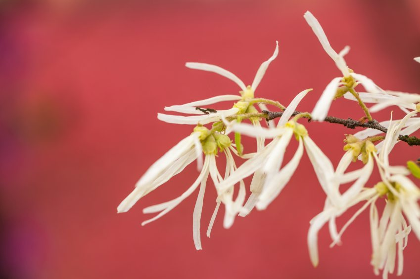 milky white witch hazel blooming after rain in the spring