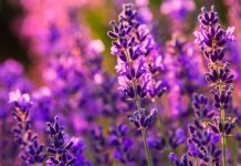 lavender facts plants
