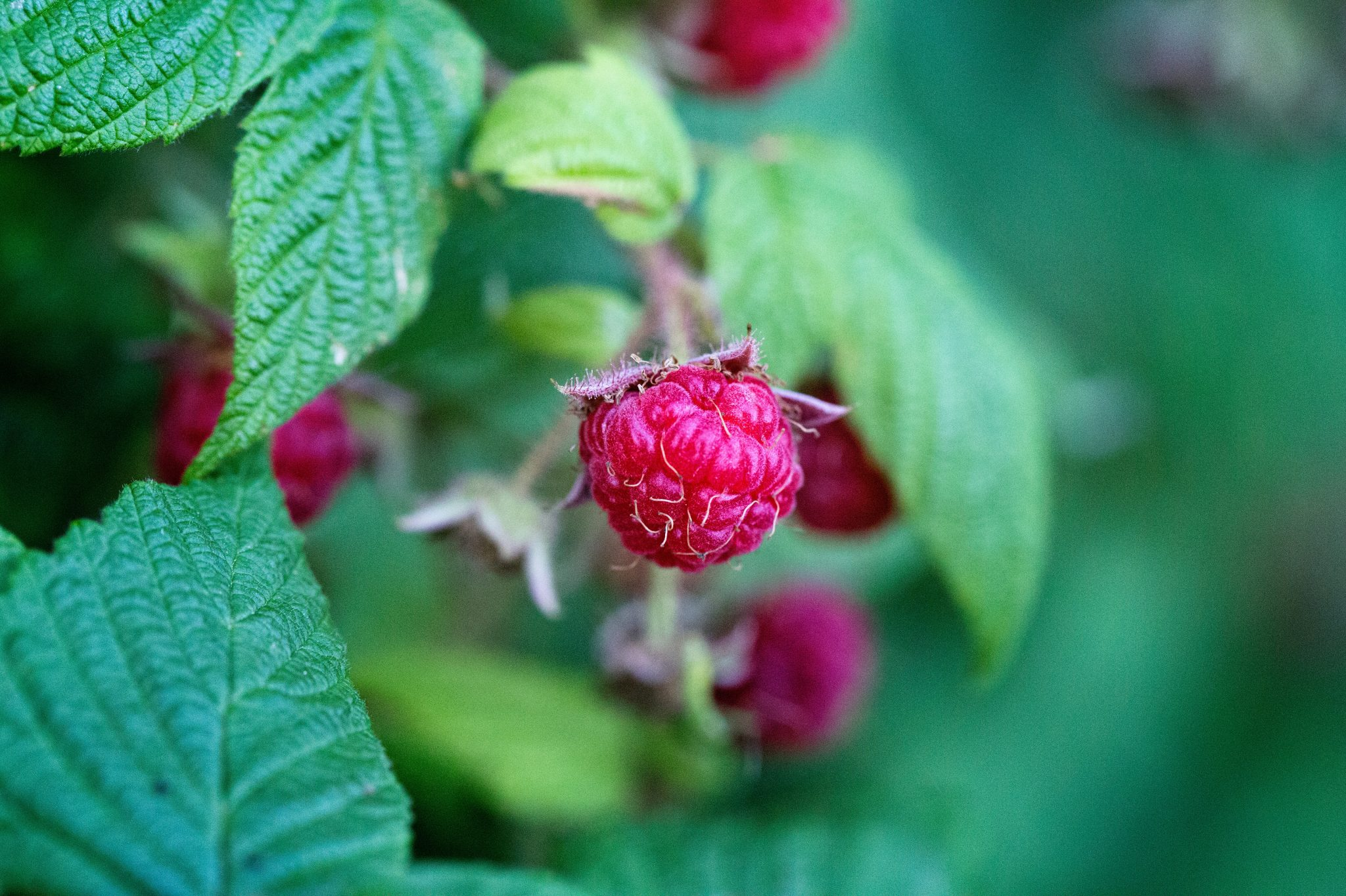 raspberries pruning in fall