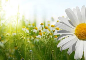 Daisy Facts: Field of Daisies