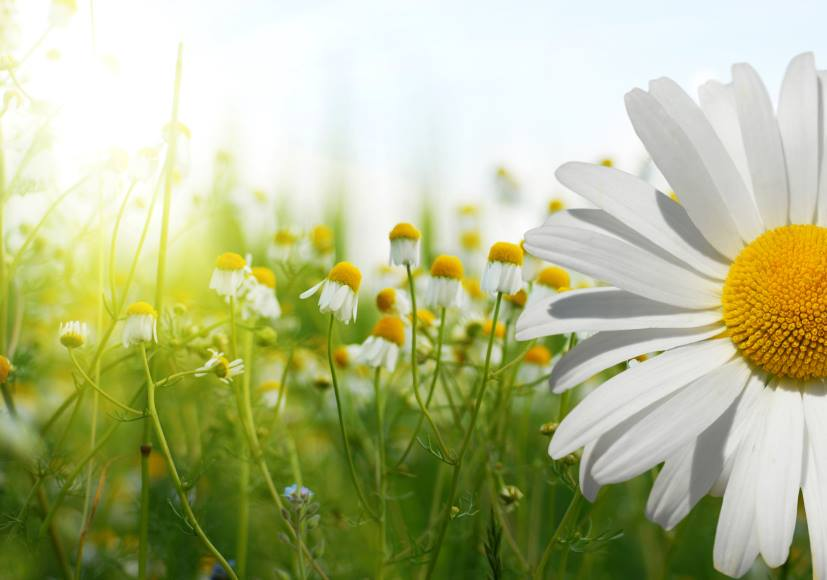 Delightful Daisy Facts Symbolism Food Health And Gardening