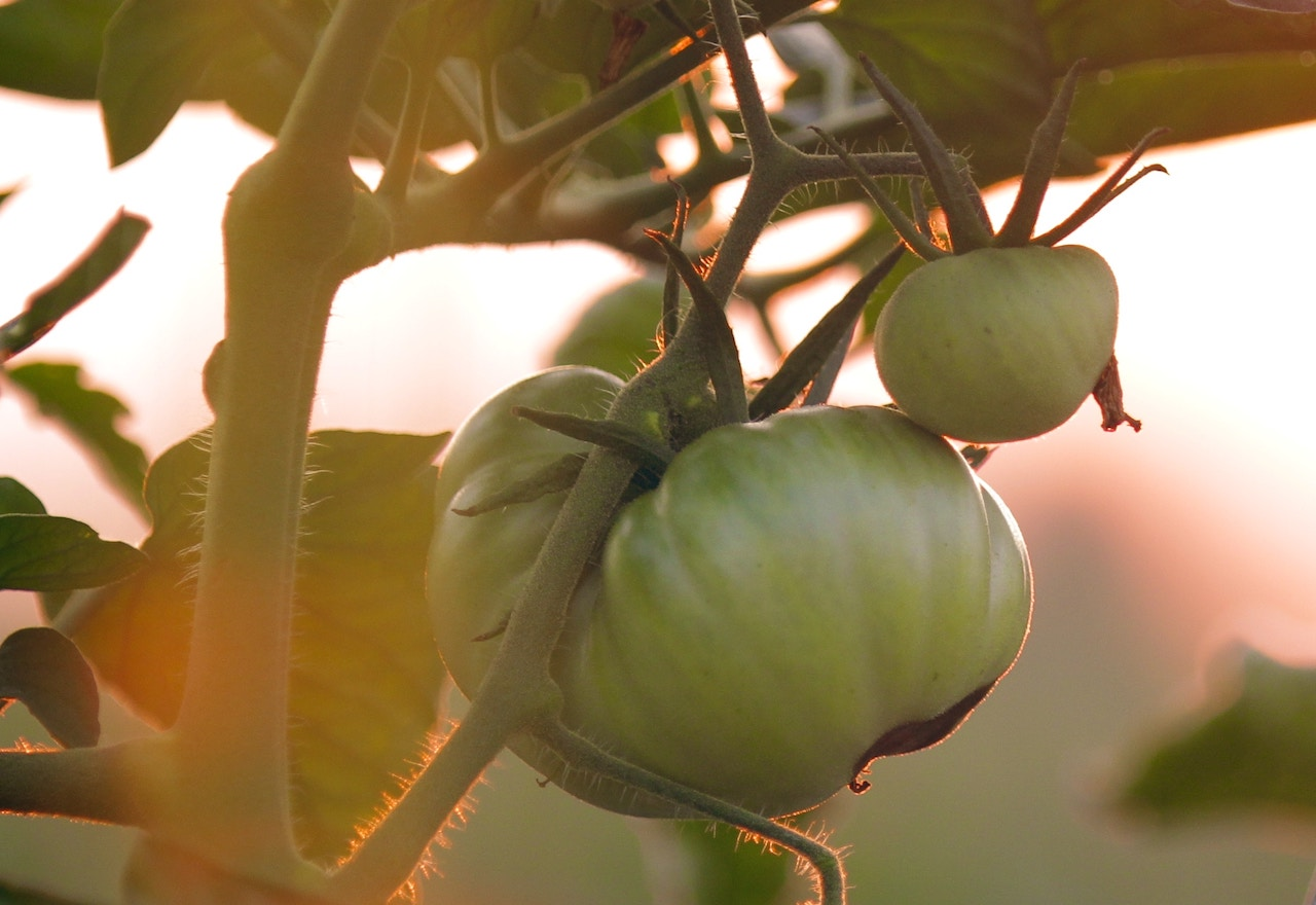 The Ultimate Tomato Growing Guide | Gracious Gardening